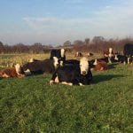 Cows lying down at Winter Scene at Bradley Hall Rural Escapes - Glamping in Cheshire